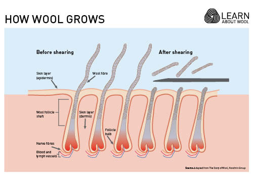 How wool grows