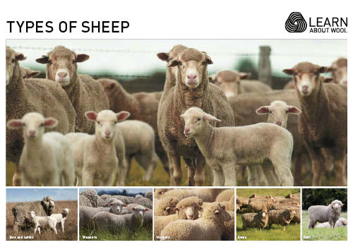 Types of sheep