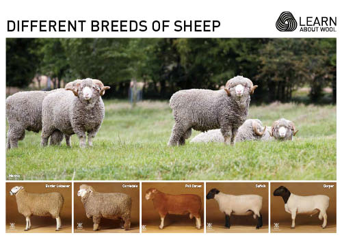 Different breeds of sheep